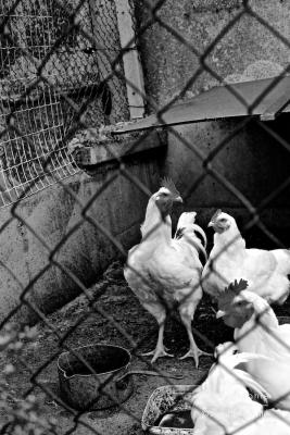 Des poules, Bretagne France ©Virginie Boullé