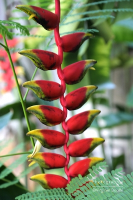 Koh Samui, Thaïlande, Becs de perroquet Héliconia ©Virginie Boullé