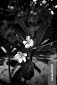Koh Samui, Thaïlande, Fleur exotiques ©Virginie Boullé