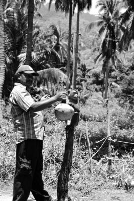 Culture des cocotier, Koh Samui, Thaïlande ©Virginie Boullé